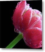 Raspberry Tulip Metal Print by Tracy Hall