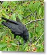 Raven In The Cherry Tree Metal Print