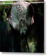 Ray Fish In Paludarium In Zoo Metal Print