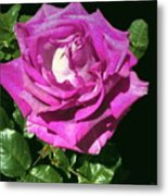 Rays Purple Passion Metal Print