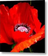 Red Poppy Photograph Metal Print