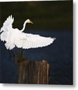 Ready To Roost Metal Print