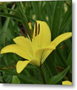 Really Beautiful Yellow Lily Growing In Nature Metal Print