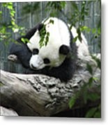 Really Cute Panda Bear Sleeping On A Log Metal Print