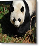 Really Sweet Giant Panda Bear Waddling Around Metal Print