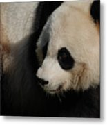 Really Up Close With The Face Of A Giant Panda Metal Print