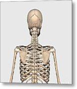 Rear View Of Human Skeletal System Metal Print