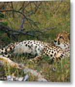 Reclining Cheetah 2 Metal Print