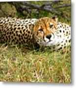 Reclining Cheetah Metal Print