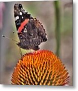 Red Admiral Butterfly On Coneflower              July              Indiana Metal Print