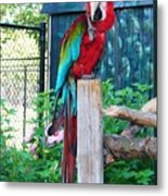 Red  And  Green Macaw         Zoo      Indiana Metal Print
