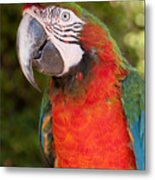 Red-and-green Macaw Metal Print