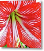 Red And White Beauty Metal Print