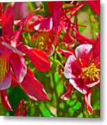 Red And White Columbine At Pilgrim Place In Claremont-california Metal Print