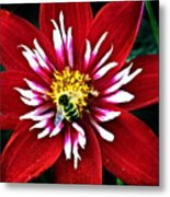 Red And White Flower With Bee Metal Print