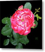Red And White Rose In Rain Metal Print