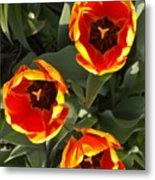 Red And Yellow Tulip Trio    Spring  Indiana Metal Print