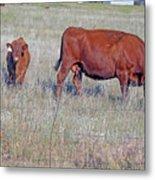 Red Angus Cow And Calf Metal Print