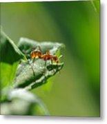 Red Ant On Leaf Metal Print