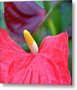 Red Anthurium Flower Metal Print