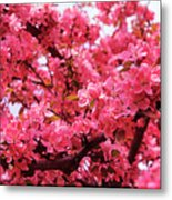 Red Apple Blossoms 6  Metal Print