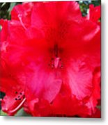 Red Azaleas Flowers 4 Red Azalea Garden Giclee Art Prints Baslee Troutman Metal Print