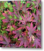 Red Bark Maple Leaves  Metal Print