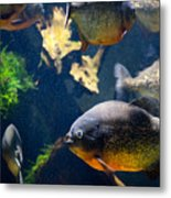 Red Bellied Piranha Fishes Metal Print