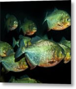 Red-bellied Piranha Metal Print