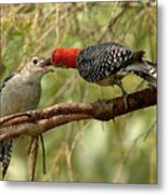 Red Bellied Woodpecker Feeding Young Metal Print