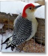 Red Bellied Woodpecker 5 Metal Print