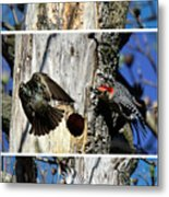 Red Bellied Woodpecker Harassed By A Starling Metal Print