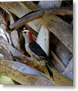 Red-bellied Woodpecker Hides On A Cabbage Palm Metal Print