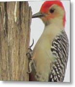 Red-bellied Woodpecker II Metal Print
