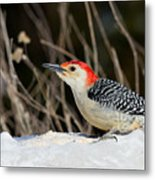 Red-bellied Woodpecker In The Snow Metal Print