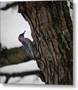 Red Bellied Woodpecker No 2 Metal Print