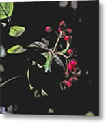 Red Berries And Foliage Metal Print