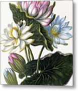 Red, Blue, And White Lotus Flowers Metal Print