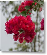 red bougainvillea in Laguna Guerrero Metal Print