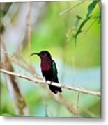 Red Breasted Humming Bird  Metal Print