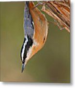 Red-breasted Nuthatch Upside Down Metal Print