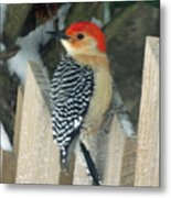 Red Breasted Woodpecker On Fence Metal Print