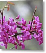 Red Bud Blossoms Metal Print