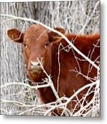 Red Calf  Hideaway Metal Print
