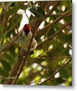 Red-capped Cardinal Digital Oil Metal Print