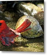Red Cardinal Bathing Metal Print