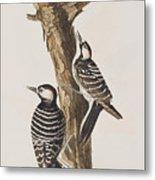 Red-cockaded Woodpecker Metal Print