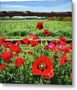 Red Corn Poppies At The Fence Metal Print
