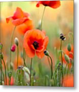 Red Corn Poppy Flowers 06 Metal Print