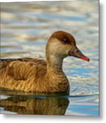 Red-crested Female Pochard Duck, Netta Rufina Metal Print